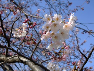 sakura1 aobanomori.jpg