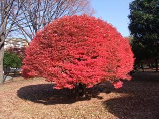 punapuu.jpg