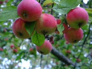 omena suomi.jpg
