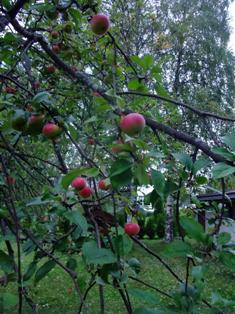 omena suomi3.jpg