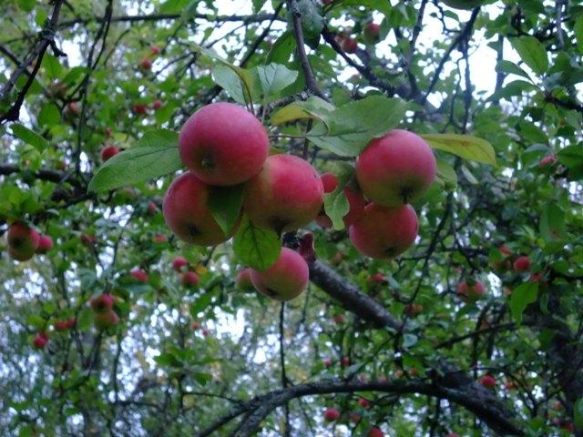 suomen omenat.jpg