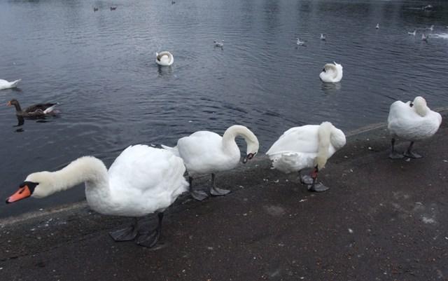 four swans.jpg