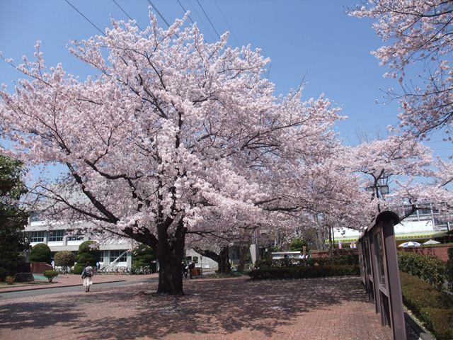oosakura.jpg