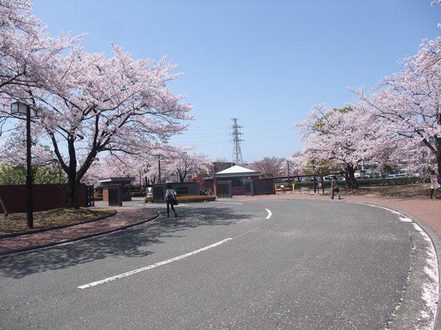 sakura no.jpg