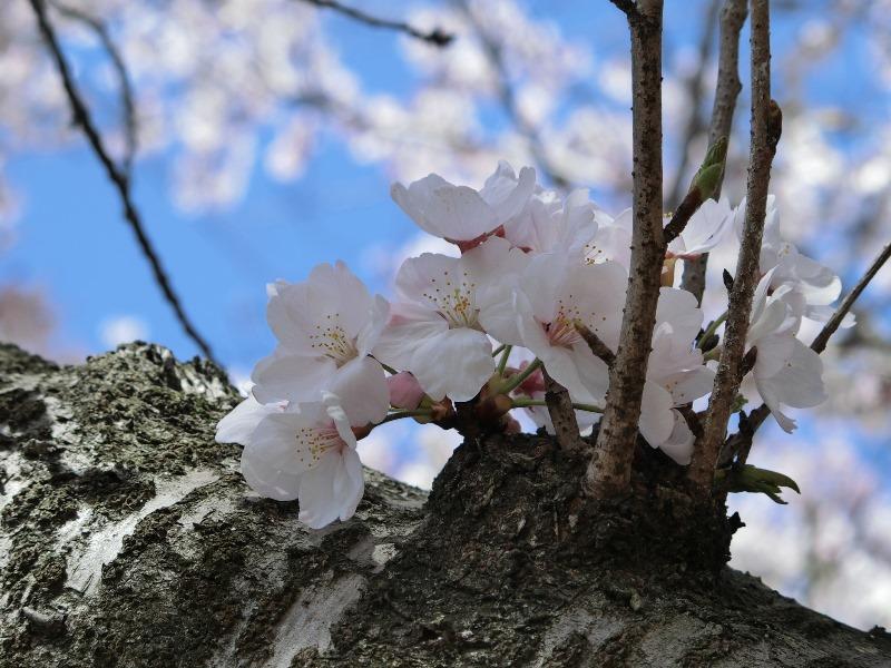 kirsikka2015.jpg