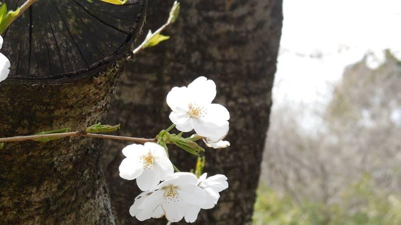 aobasakura.jpg
